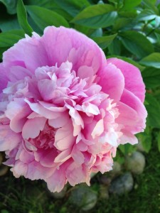 Kathy Ptasek - pink flower cover